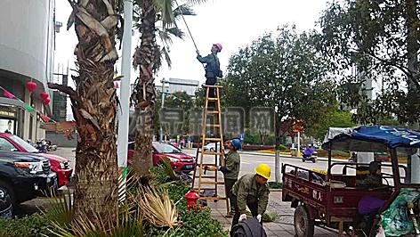 市园林处职工修剪道树