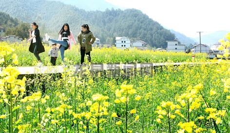 安仁镇张畈村50亩油菜花竞相开放