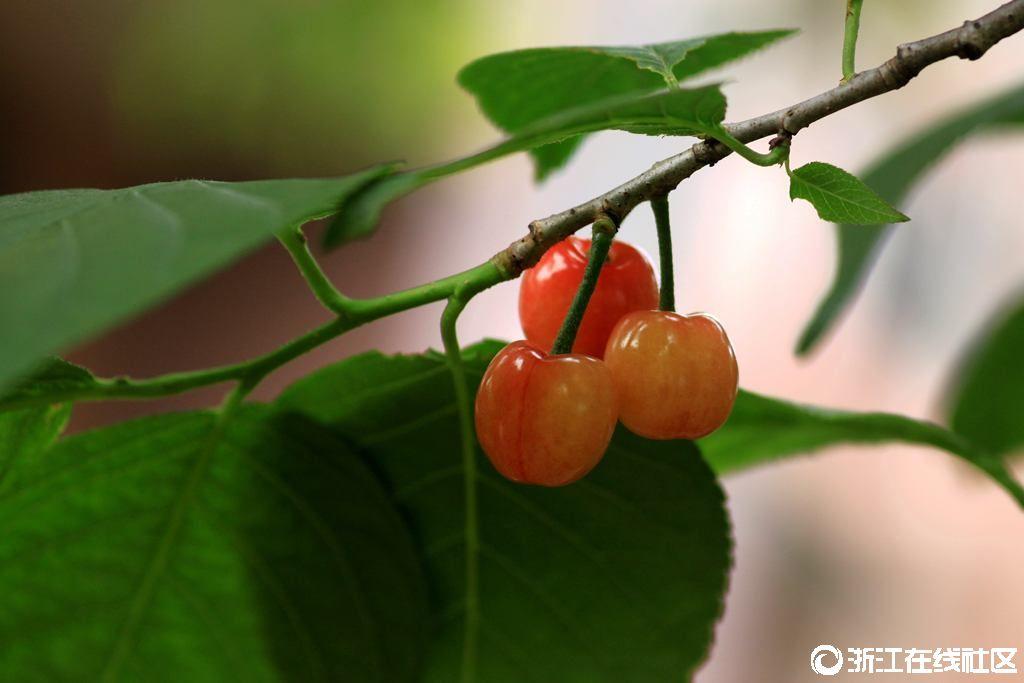 【行行摄摄】舌尖上的美味――樱桃