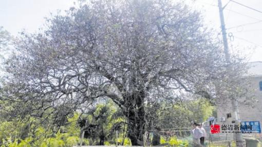 """五百年构骨树只剩""""半条命"""""""