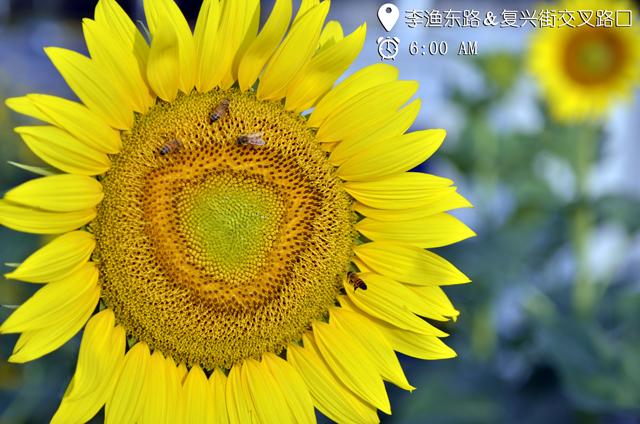 被这片向日葵美晕,在金东的街角邂逅向日葵