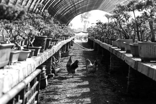 种盆栽 养土鸡