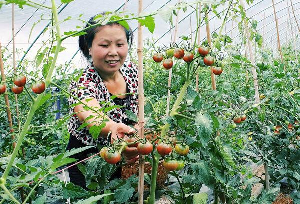 怎样在家做黑椒番茄排骨?