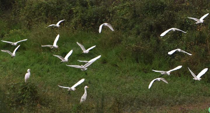 爱摄家丨武义:南迁鹭鸟恋湿地