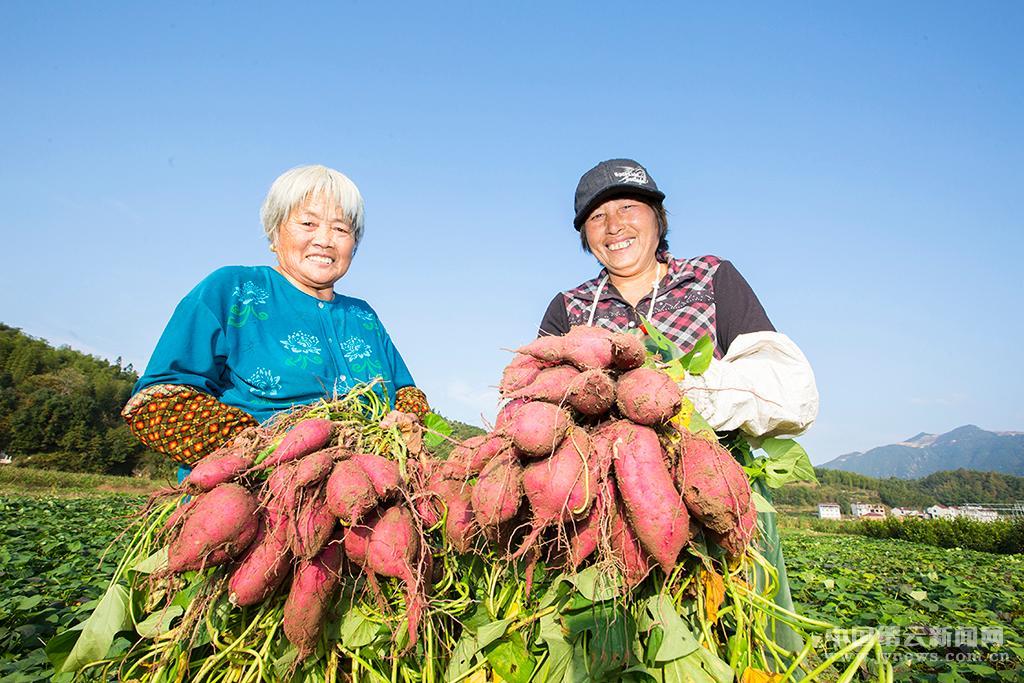 收获番薯新品种
