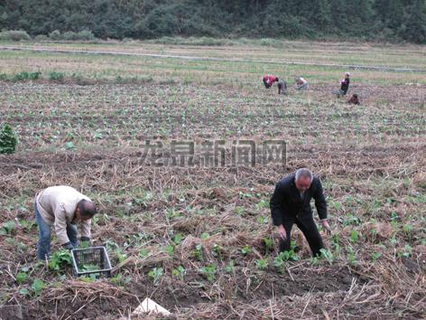 查田镇青坑村村民计划种植油菜300余亩