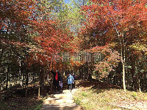 火红的枫叶把九姑山森林公园点缀得绚丽夺目