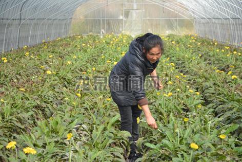 兰巨乡悦圆家庭农场大棚里的太阳花竞相开花