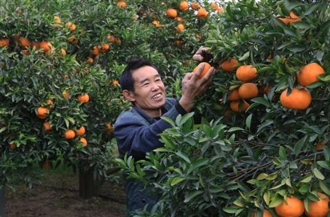 柑橘挂在树上卖