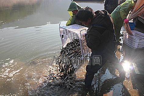 紧水滩库区渔业专业合作社放养鱼苗2万多斤