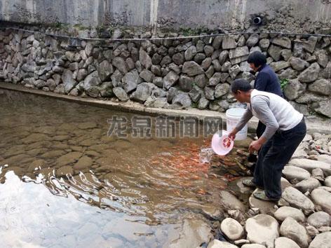 小梅镇组织人员投放了700多斤彩鲤鱼苗