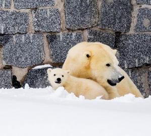 初次露面的小北极熊