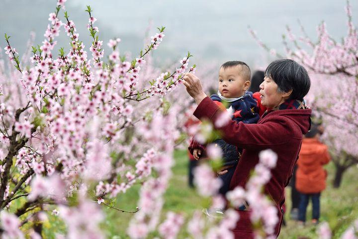 源东桃花节即将开幕 朵朵桃花引客来