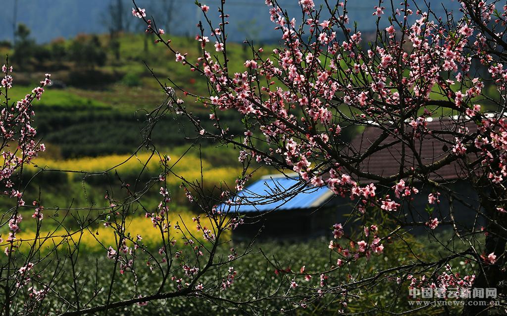 春到缙云 桃红麦绿