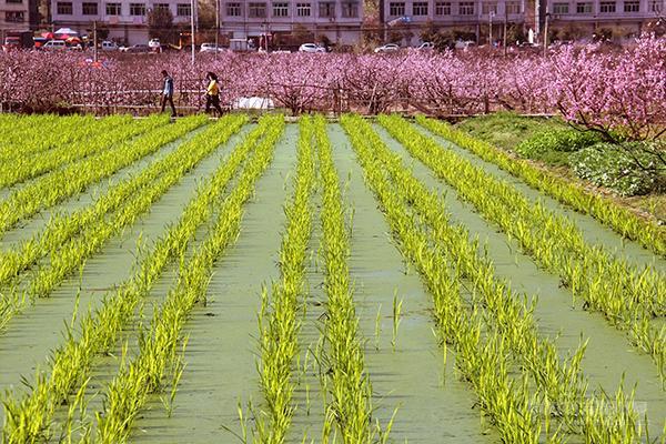 红桃绿茭春满田