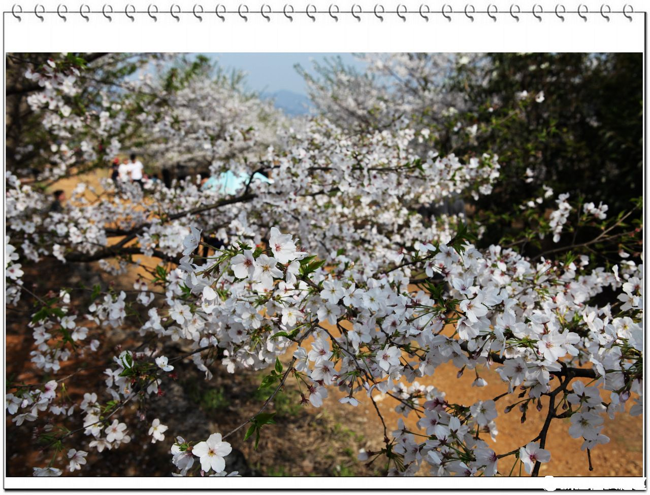 【金庭后山,樱花似雪】