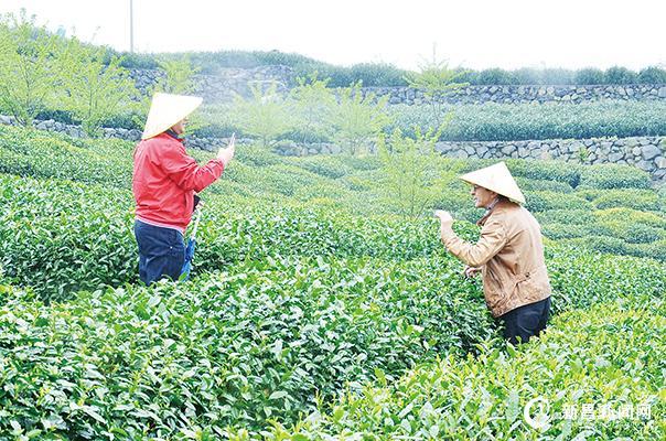 摩洛哥茶商考察团来新考察合作