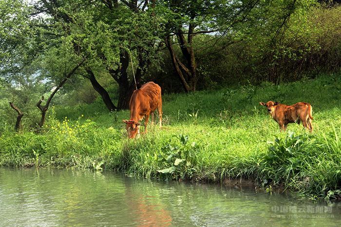 芳草萋萋牛悠闲