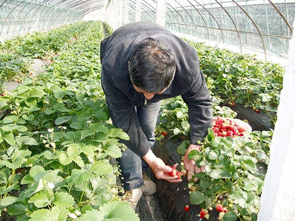 草莓销路好