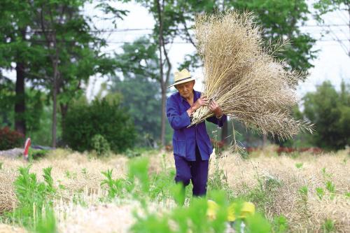 老农收获季