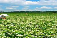 横县:在那茉莉花盛开的地方