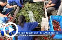 本地养殖青蟹捕捞上市 抢占休渔期市场