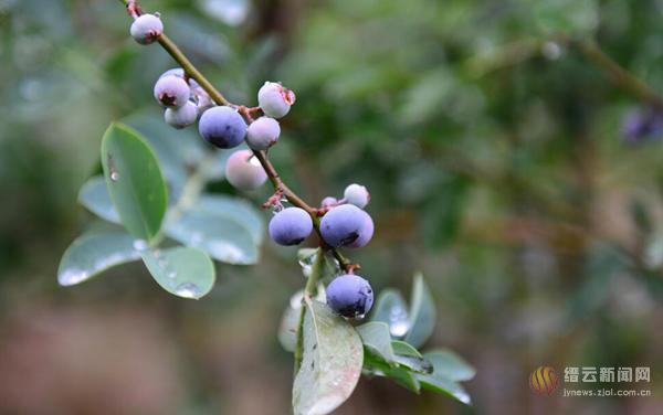 兆岸蓝莓受青睐
