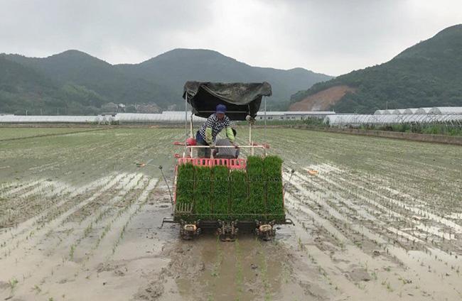 定海:农户插秧忙