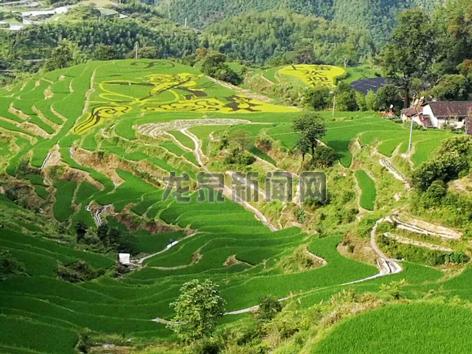 彩色水稻给屏南镇上畲村带来了较好的经济效益和社会效益