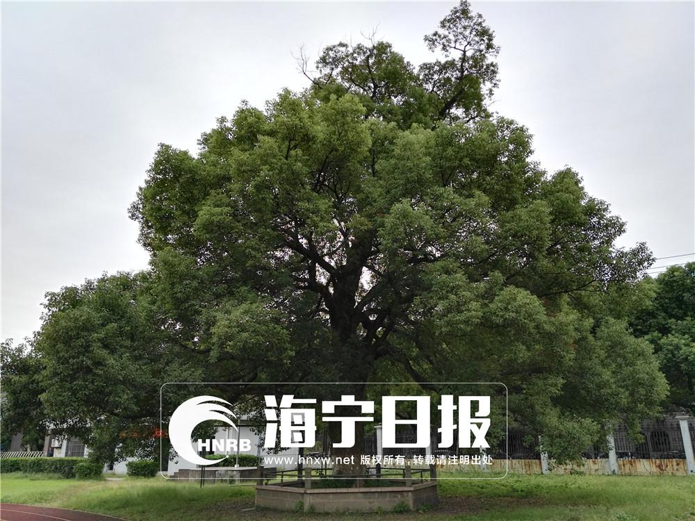 1005岁!海宁最长寿的古树是它
