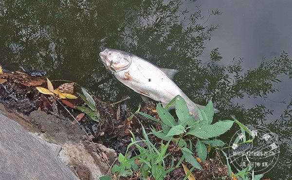 湿地公园每天捞50来条死鱼