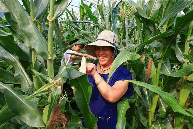 """[定海]""""欢乐农家""""玉米开摘"""