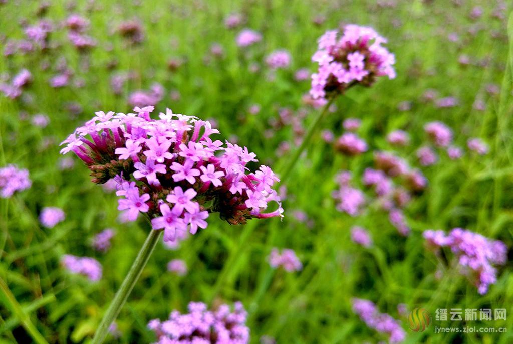 梦幻紫 马鞭草