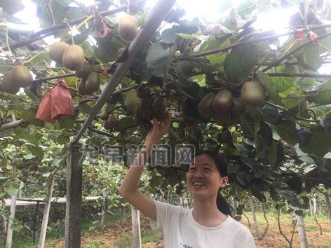 城北乡近千亩猕猴桃已经进入最佳采摘期