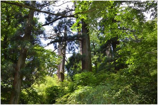 大树王国里的古木参天——天目山