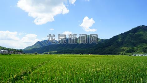 小梅镇黄南粮食生产功能区 水稻迎风招展