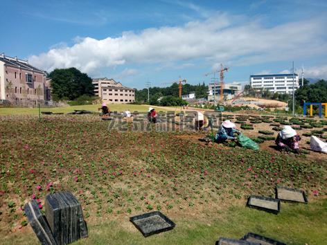 市园林处在市区全面开展时令花卉更换栽植工作