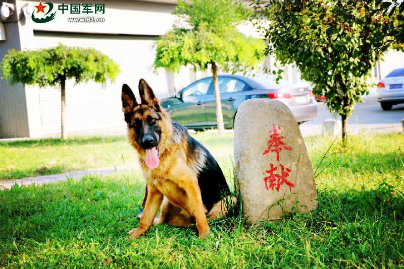 一只军犬的述职报告:我凭什么名震犬圈
