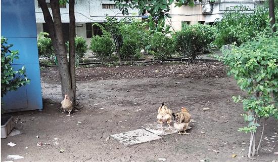 绿化带养鸡不文明