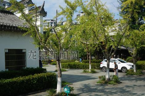 滨江公园一带许多银杏树结满了果实
