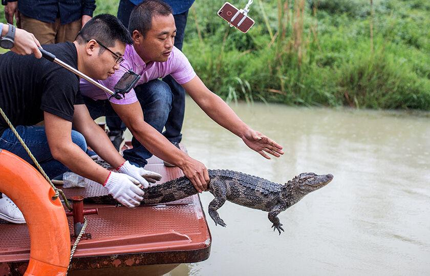 7岁扬子鳄放归自然