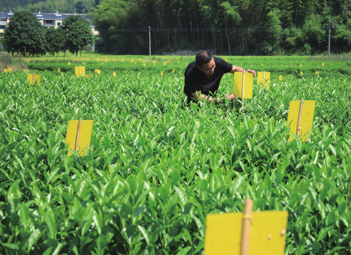 挂黄板诱杀害虫 为绿色农业...