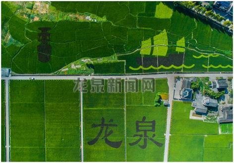 """小梅黄南省级粮食生产功能区内,彩色水稻种植的""""青瓷""""""""帆船""""图案美如画"""