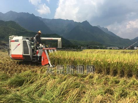 张家平家庭农场的农户开着稻谷收割机忙碌作业