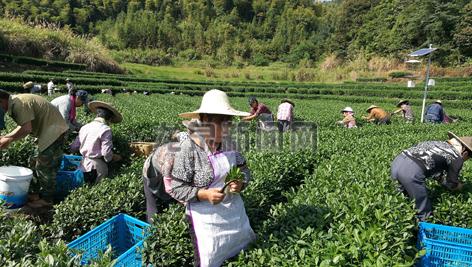 我市陈氏家庭农场秋茶开采