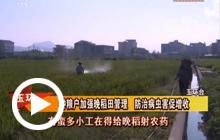 种粮户加强晚稻田管理