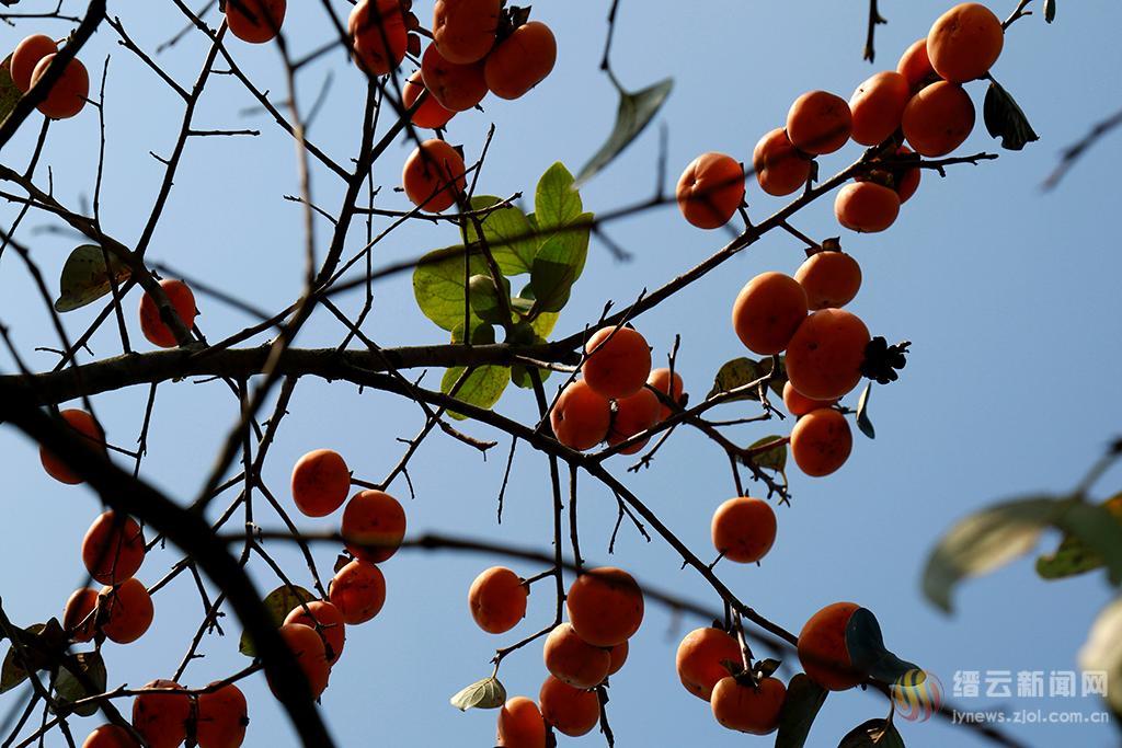 红红柿子挂秋风