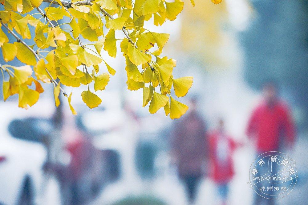 立冬・银杏黄