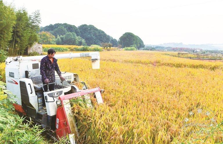 水稻减产 收入却增加了
