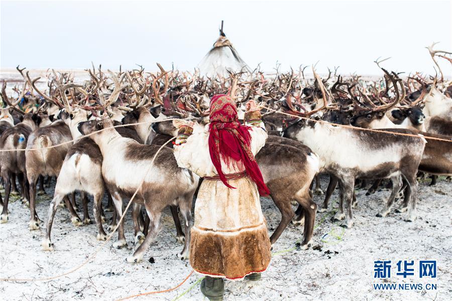 """涅涅茨人――""""冰上丝路""""沿线的驯鹿牧民"""
